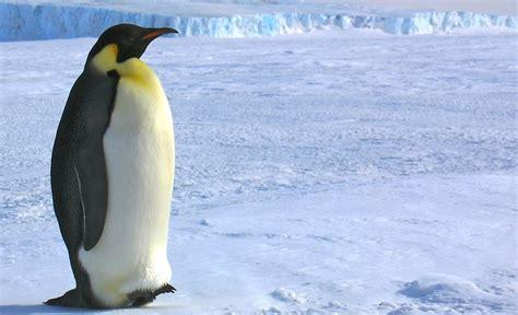 the first man penguin b00gedd3z6 emperor penguin aptenodytes forsteri about animals