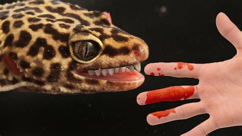 leopard gecko heat l how to stop your leopard gecko biting you