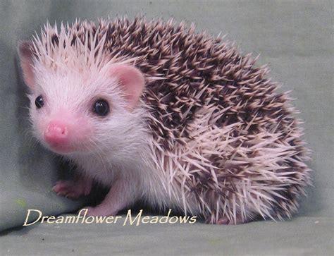 hedgehog colors hedgehog markings dreamflower