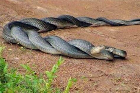 caracteristicas de la serpiente   habitat reproduccion