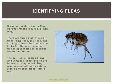 put a flea infestation on the flee with slug a bug