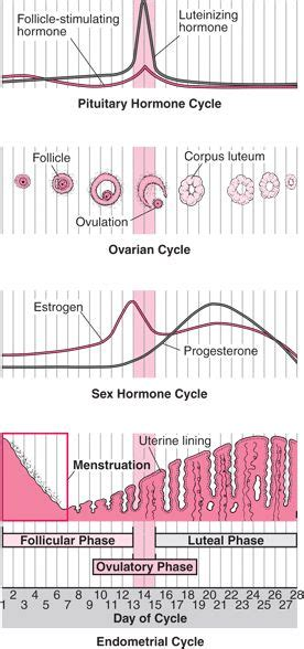25+ best ideas about Reproductive system on Pinterest ... Female Period Cycle