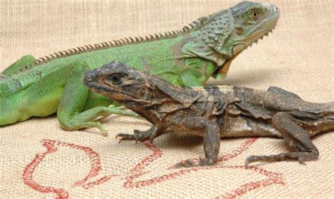 imagenes de iguanas verdes y negras iguana verde e iguana negra hogarmania