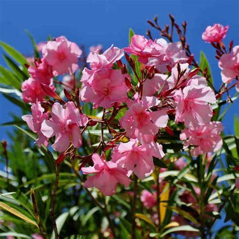 Arrosage Lauriers Roses laurier plantation taille et conseils d entretien