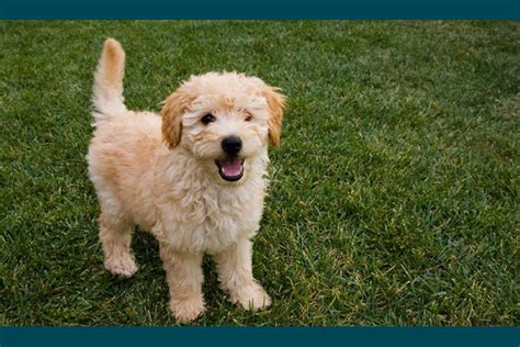 doodle doodle breed fascinated with doodle or oodle dogs here are the top 5