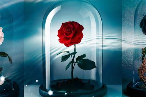 foto gambar bunga mawar  bagus  modern
