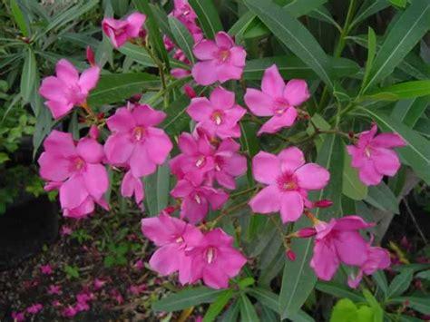 oleander plant wunder archive weather underground