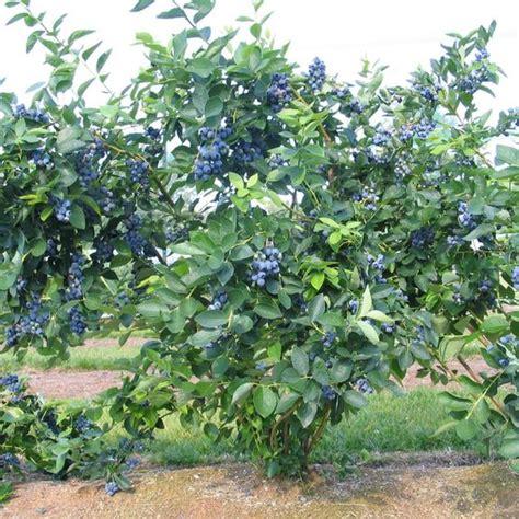 Blueberry Garden by Blueberry Bluejay Longfield Gardens