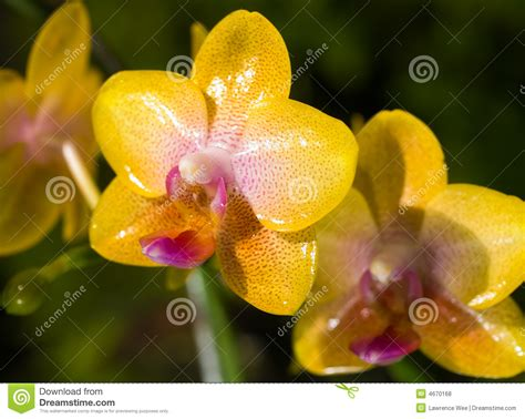 Läuse Auf Orchideen 4233 by Phalaenopsis Hybrid Orchids Royalty Free Stock Photos