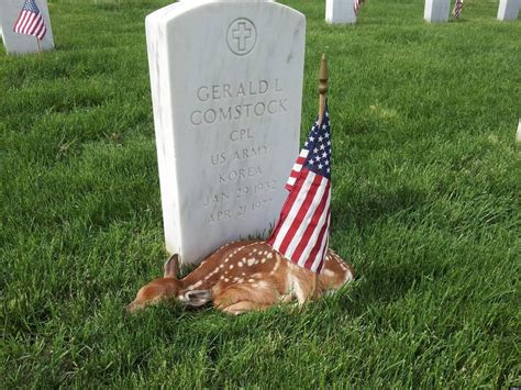 Thuõ S Fawn Lying By Veteran S Grave On Memorial Day Is