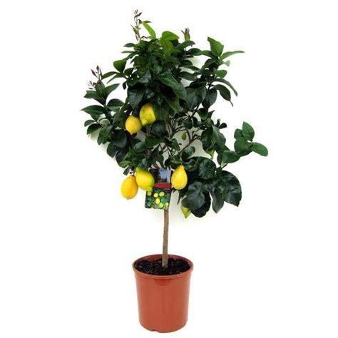 Caring for Lemon Trees