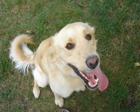 staffy x golden retriever jamal 2 year collie cross golden retriever for adoption