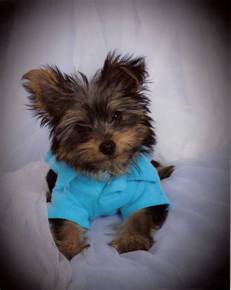 Yorkie Puppies For Sale Dr Yorkies Arkansas