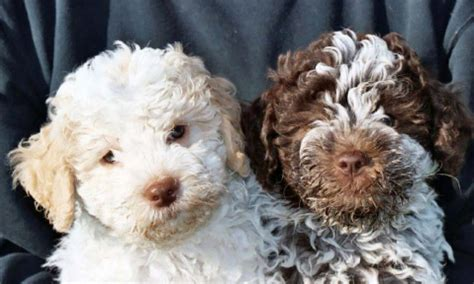 lagotto puppies lagotto romagnolo puppies not taken by me uploaded for my flickr
