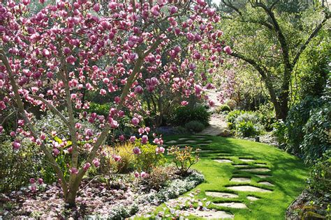 growing magnolias made easy australian handyman magazine