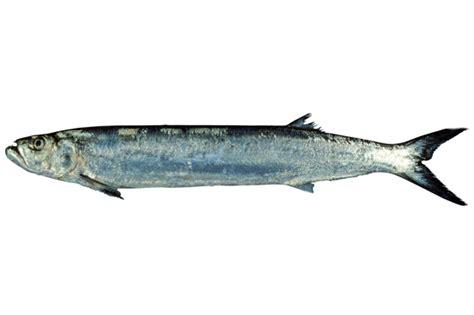 Golok Tulang Dan Daging Aren aquoshofiy supplier daging ikan fillet dan giling muara