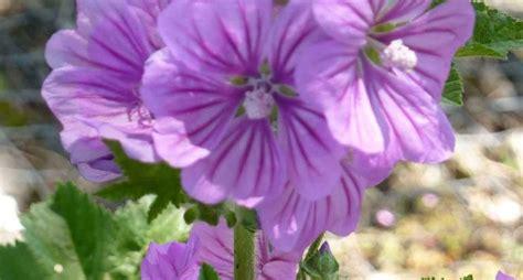 fiore di malva infuso malva infusi infuso malva erboristeria