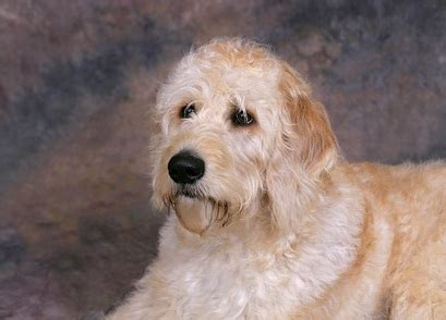 mix breeds list and pictures poodle mix breeds photograph poodle mix breeds a list of si