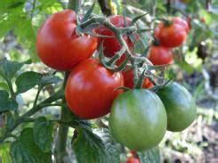 wann tomaten ernten tomaten richtig ernten wann sind sie reif