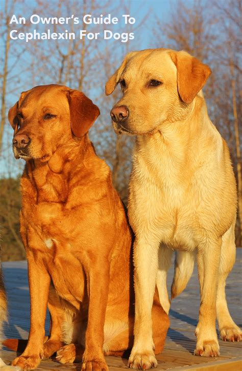 cephalexin dogs cephalexin for dogs a pet owner s guide by the labrador site