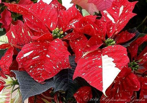 plantfiles pictures poinsettia sonora white glitter