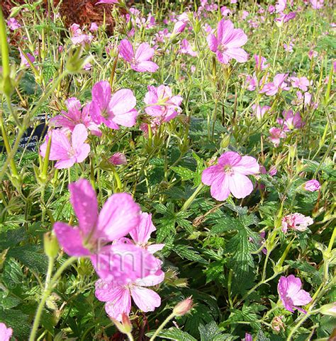 a big photo of geranium macrorrhizum from findmeplants