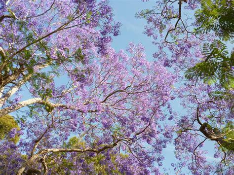 the dream tree jacaranda sydney icon sydney living museums