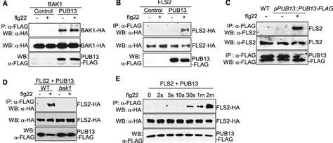 pattern recognition tamu direct ubiquitination of pattern recognition receptor fls2