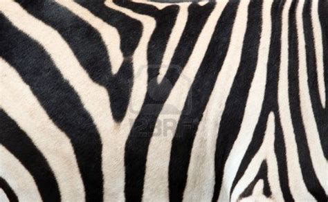 skin pattern of zebra zebra skin