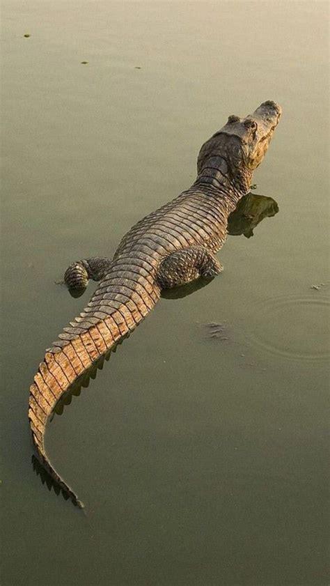 De 25+ bedste idéer til Crocodiles på Pinterest ...