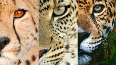 leopard jaguar panther difference how to visually differentiate between a cheetah a jaguar