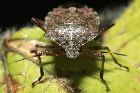 oregon pest managers warn  crop damaging insects