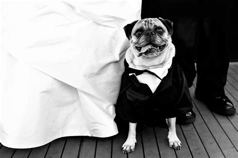 pug tuxedo index of wp content uploads 2011 08