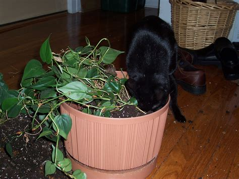 indoor plants for cats safeguarding plants from cats how to keep cats out of houseplants