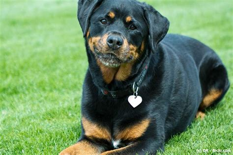 what are rottweilers quelques liens utiles