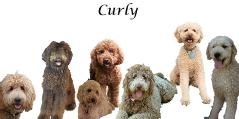 labradoodle puppy coat change labradoodle coat types curly wavy shaggy and fur