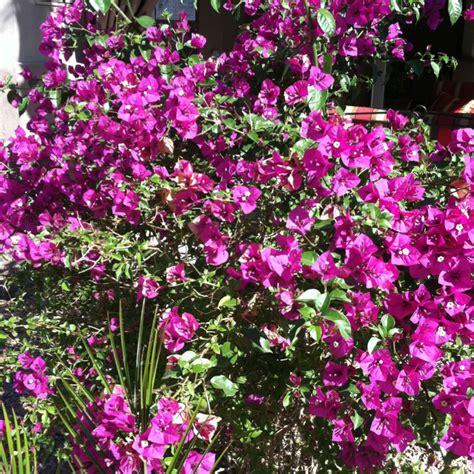 purple flowering bush purple flowering bushes flowers