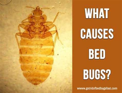 causes of bed bugs bed bugs causes 28 images identification 770 bed bug