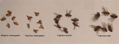 fruit fly size fly size comparison images