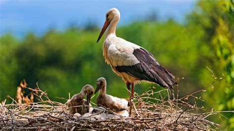 stork babies bird nest parent hd widescreen wallpaper