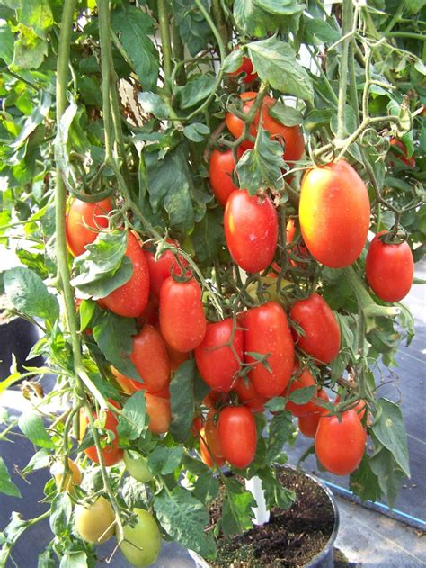 Plumb Tomatoes by Plum Tomatoes