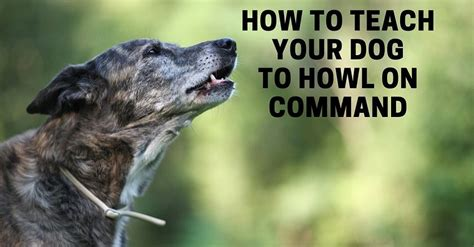how to get your to howl how to teach your to howl or sing on command thatmutt