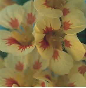 Jual Bibit Bunga Nasturtium jual aneka bibit bunga hias jual bibit bunga murah