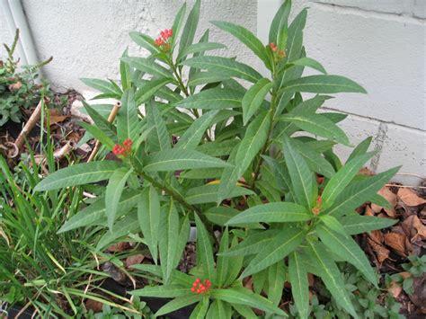 ask gardenerd pruning back milkweed gardenerd