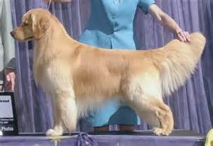golden retriever groomers golden retriever show cut pet grooming essentials pet grooming