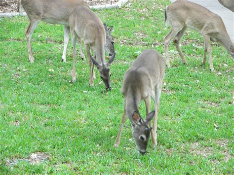 what does it when a eats grass plantanswers plant answers gt deer grass