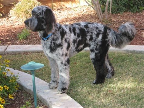 standard aussiedoodle puppies for sale about aussiedoodles aussiedoodle puppies for sale aussiedoodle and labradoodle