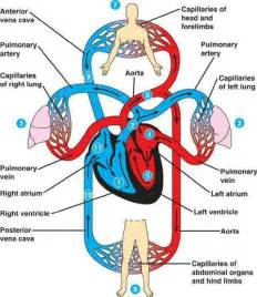 pulmonary amp systemic circulation medical pinterest