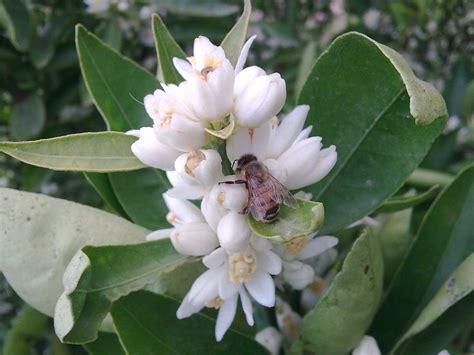 fiore profumatissimo la zagara il profumatissimo fiore dell arancio e limone