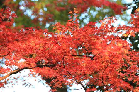 Gro E Pflanzen Kaufen 83 by Japanische Ahorn Japanischer Ahorn Japanische Ahorn
